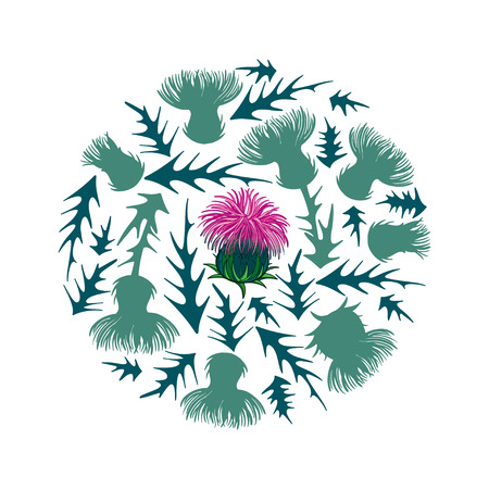 Pink Thistle or Carduus plant, bud and flower isolated.