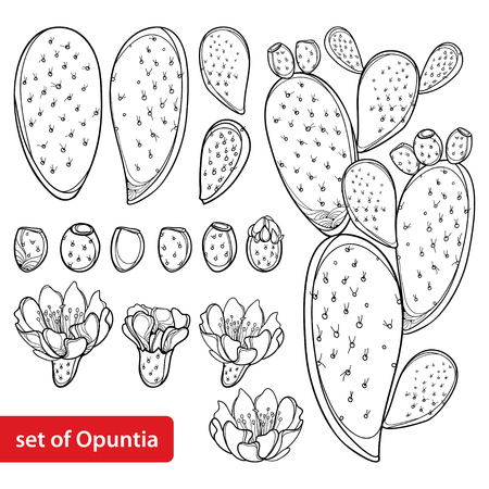 Set of Opuntia plant or prickly pear cactus isolated.