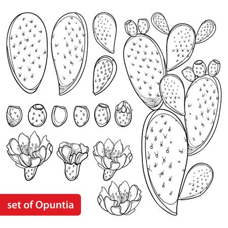 Zestaw roślin Opuntia lub kaktus opuncja na białym tle.
