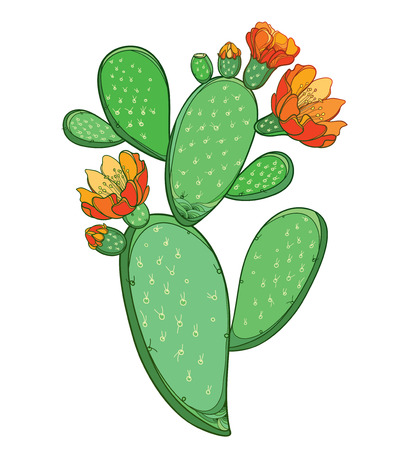 Opuntia or prickly pear cactus with flower isolated.