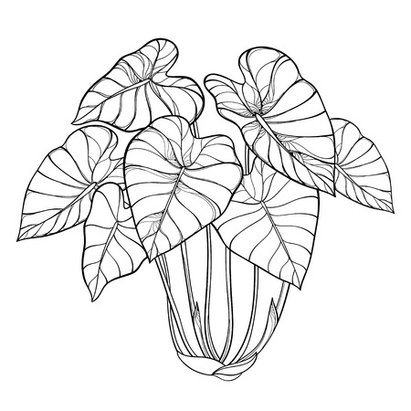Bush of tropical Colocasia or Taro leaf isolated.