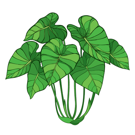 Bush of tropical Colocasia or Taro leaf isolated. 版權商用圖片 - 122679309
