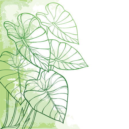 Feuille tropicale d'angle Colocasia ou plante Taro.