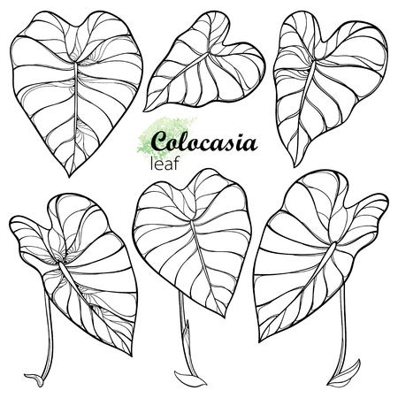 Set with tropical leaves of Colocasia or Taro plant.