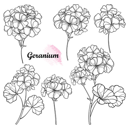 Set of Geranium or Cranesbills flower bunch isolated.