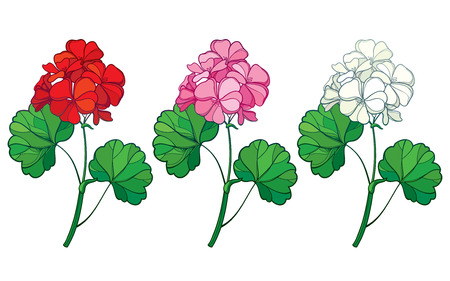 Set of Geranium or Cranesbills flower and leaf isolated.