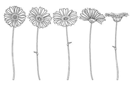 Set of outline Gerbera flower and stem isolated. Illustration