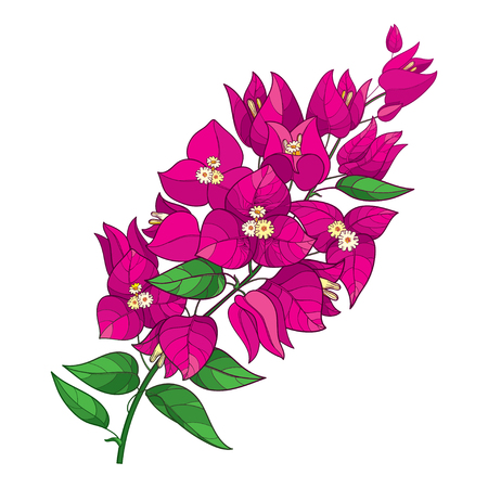 Outline Bougainvillea flower bunch in pink isolated.