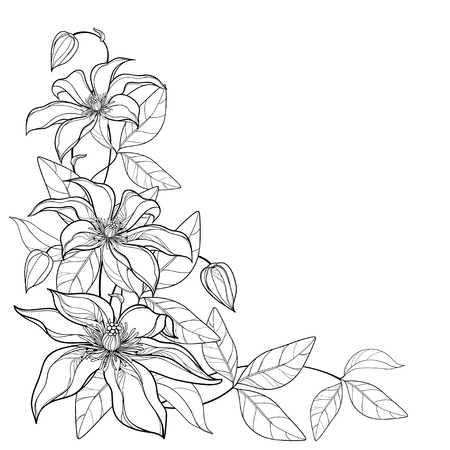 Corner bouquet with Clematis flower in black isolated. Vetores