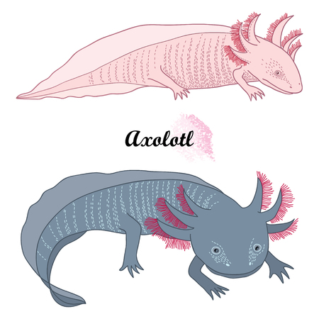 Outline Mexican axolotl or walking fish isolated. Çizim