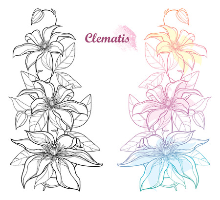 Set with pastel and black Clematis flower isolated. Illustration