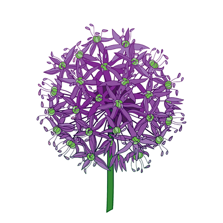 Ball of Allium or Giant onion flower head isolated.