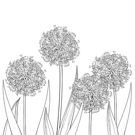 Allium or Giant onion flower head in black isolated. Illustration