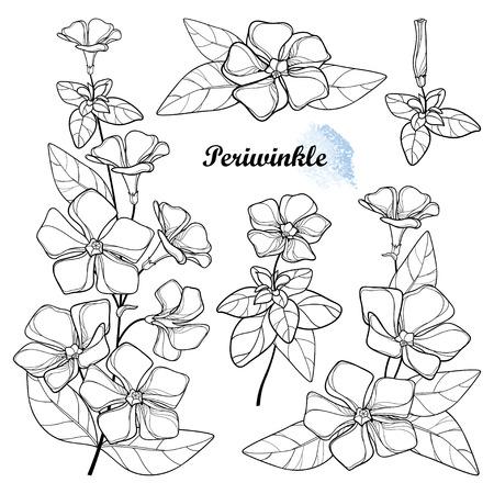Set of Periwinkle or Vinca flower in black isolated.