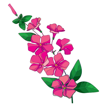 Branch of pink Madagascar periwinkle isolated.