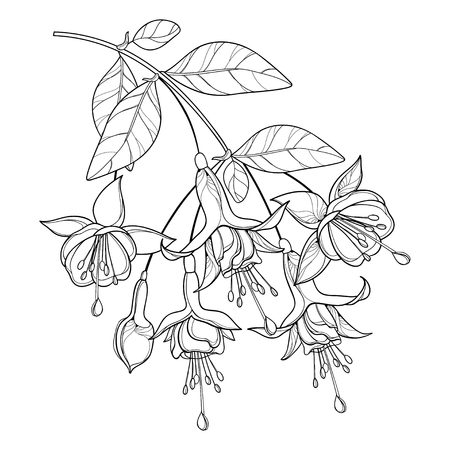 Branch of outline Fuchsia flower in black isolated.
