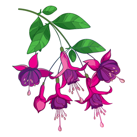 Branch of outline Fuchsia flower in purple isolated.