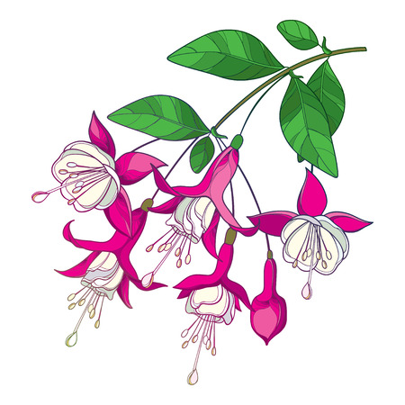 Branch of outline Fuchsia flower in pink isolated. Ilustração