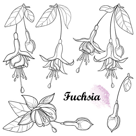 Set of outline Fuchsia flower, bud and leaf isolated.