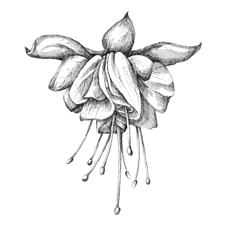 Sketch of Fuchsia flower in black isolated.