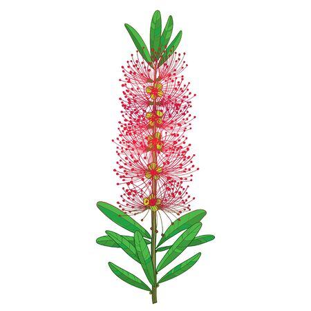 Fleur de Callistemon ou Bottlebrush rouge et feuilles isolées.