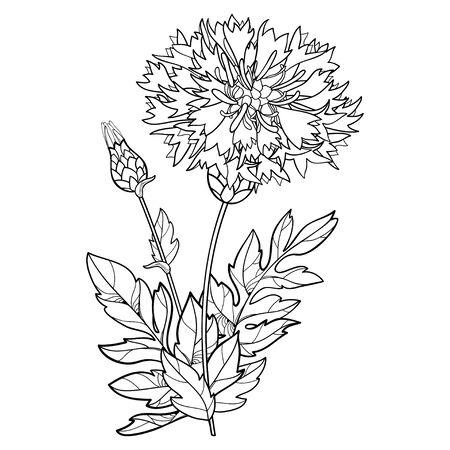 Bunch of Centaurea or Persian cornflower isolated.