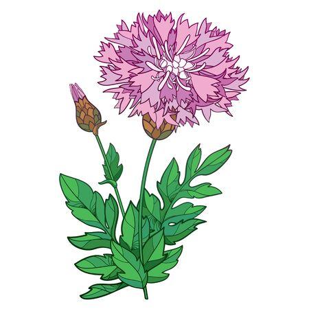 Bunch of pink Centaurea or Persian cornflower isolated.