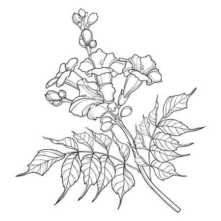 Campsis lub kiść kwiatów winorośli trąbka na białym tle.