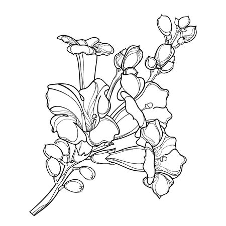 Campsis o grappolo di fiori di vite di tromba isolato.