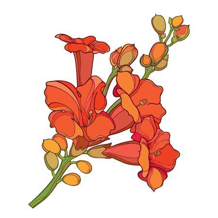 Campsis naranja o racimo de flores de vid de trompeta aislado. Ilustración de vector