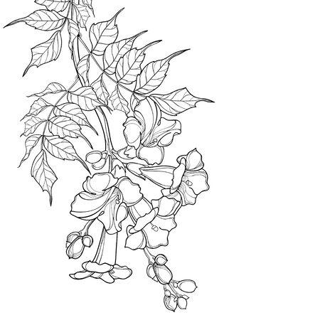 Campsis o manojo de flores de vid de trompeta aislado. Ilustración de vector
