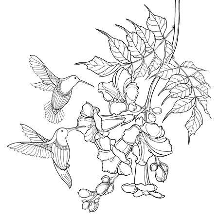 Campsis or trumpet vine and Hummingbird isolated. Stock Illustratie
