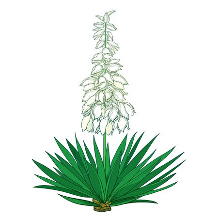 Outline Yucca flower bunch and green leaf isolated.