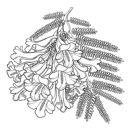 Branch of outline Jacaranda flower and leaf isolated. Ilustrace