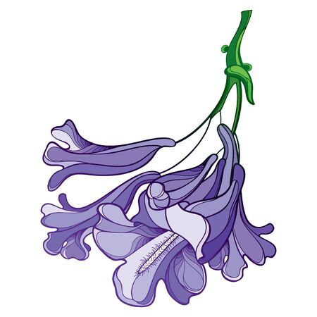 Purple Jacaranda flower bunch isolated. Illustration