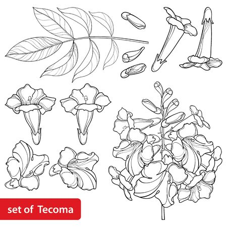 Set of tecoma or yellow Trumpet flower and leaf isolated. Ilustrace