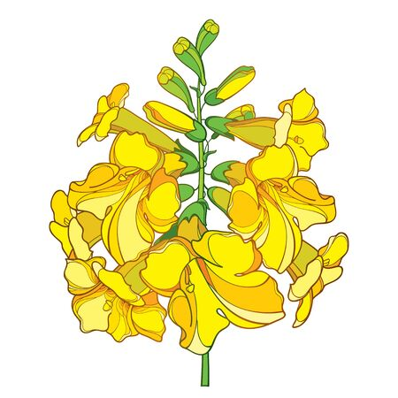 Branch of Tecoma or yellow Trumpet flower isolated.
