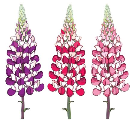 Set of pink lupine or bluebonnet isolated. Ilustrace