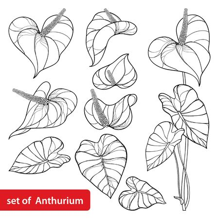 Set of Anthurium flowers in black isolated. Ilustrace