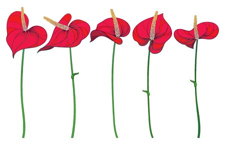 Set of red Anthurium flowers isolated. Ilustrace