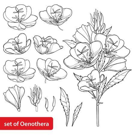 Set overzicht Oenothera of teunisbloem geïsoleerd. Vector Illustratie