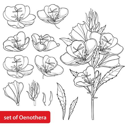 Set of outline Oenothera or evening primrose isolated. Illustration