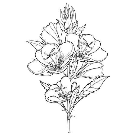 Bouquet d'Oenothera ou d'onagre isolé. Vecteurs