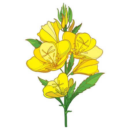Bouquet of Oenothera or evening primrose isolated. 向量圖像