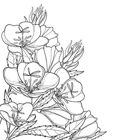 Bouquet d'angle d'Oenothera ou d'onagre isolé. Vecteurs