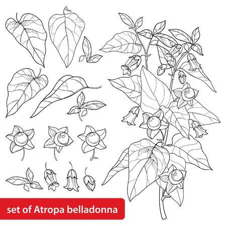 Ensemble d'Atropa belladonna ou de morelle mortelle isolée.