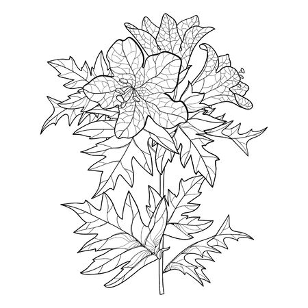Hyoscyamus or Henbane flower and leaf isolated. Illustration