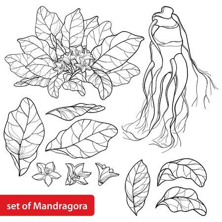 Set of Mandragora or Mandrake flower and leaf.