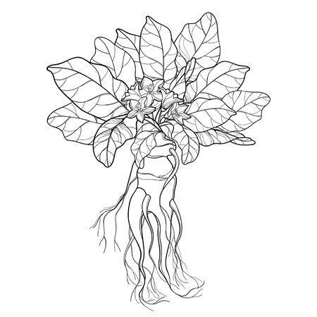 Mandragora or Mandrake flower, leaf and root isolated. Illustration