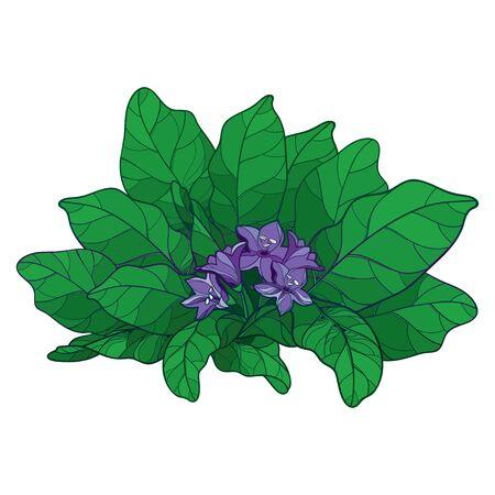 Mandragora or Mandrake flower and leaf isolated. Illustration